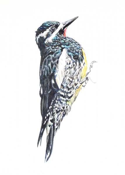 Williamson's Sapsucker