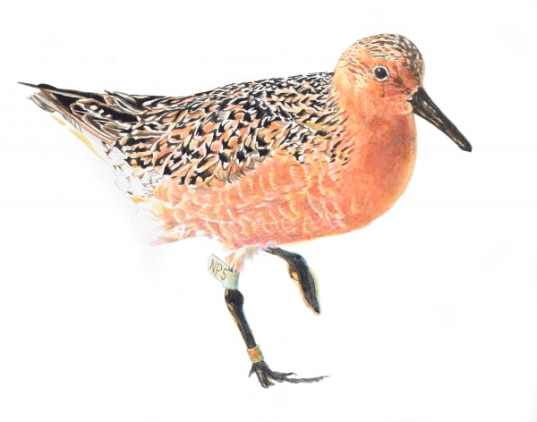Red Knot (rufa)